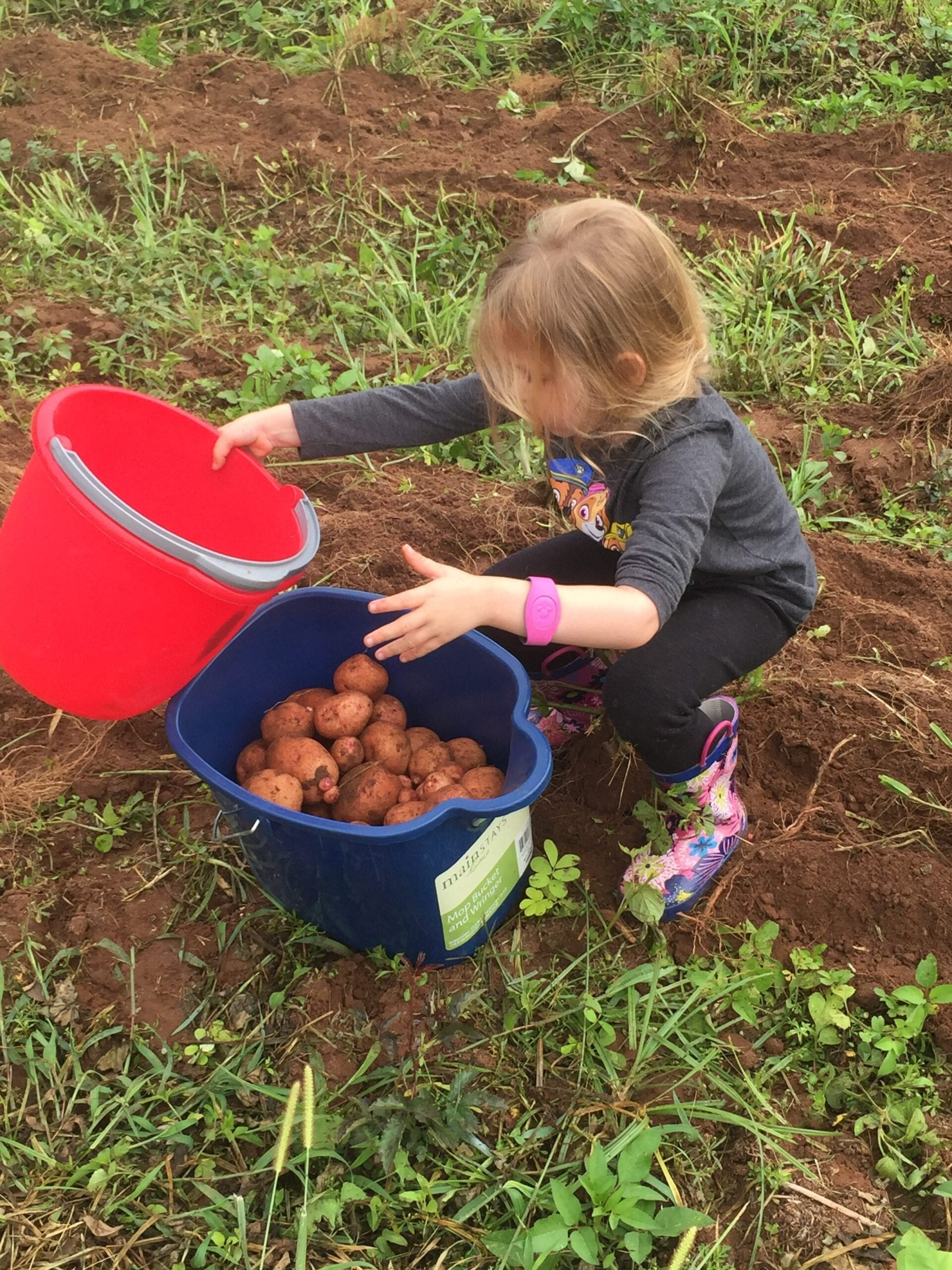 Little girl picking potatoes into bucket at farm